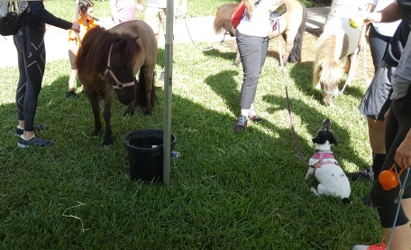 Mini Horses at Walk 2017